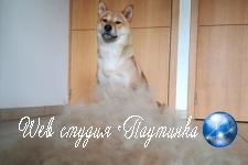 «Довольный собой» щенок сиба-ину снисходительно примерил парики из своей шерсти