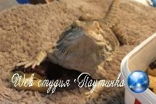 В сети похвастались свиданиями с бородатыми ящерицами
